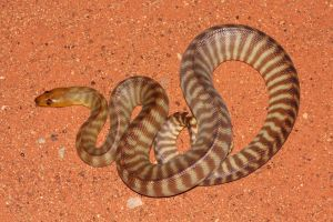 Red Desert Reptiles - Broome Tourism